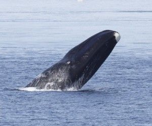 Critically endangered bowhead whales sing like birds