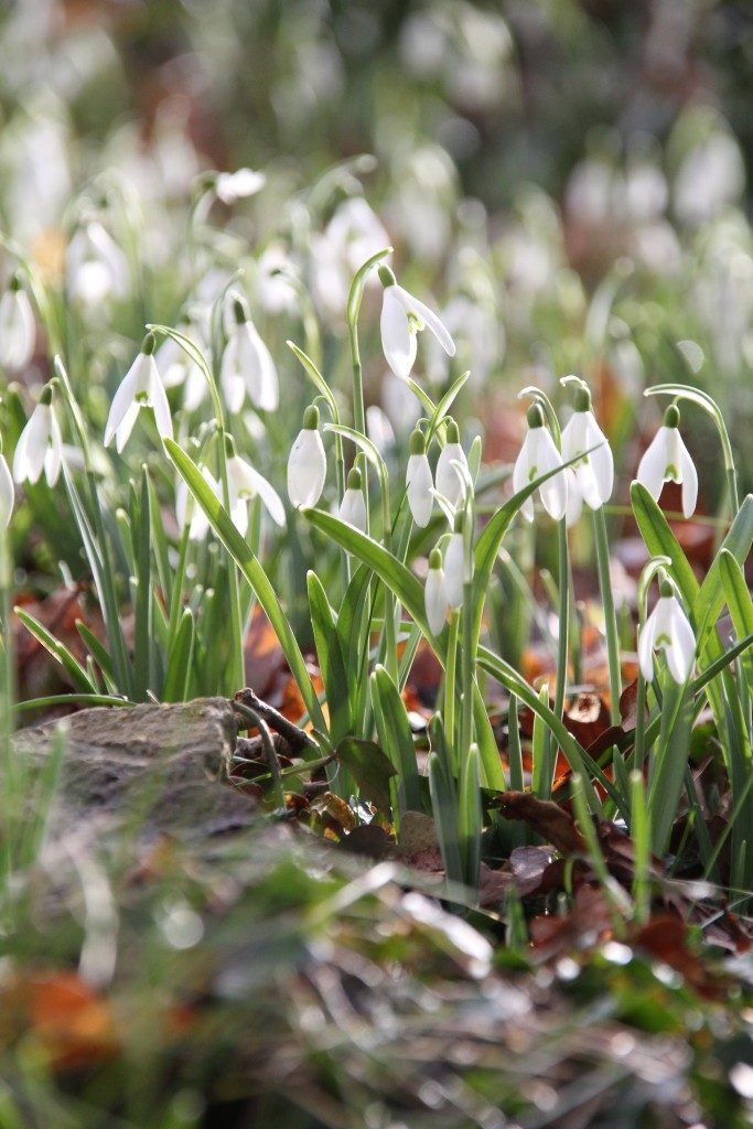 Special Snowdrop Gardens, Talks, Events, and Open Days for 2017 - Pumpkin Beth