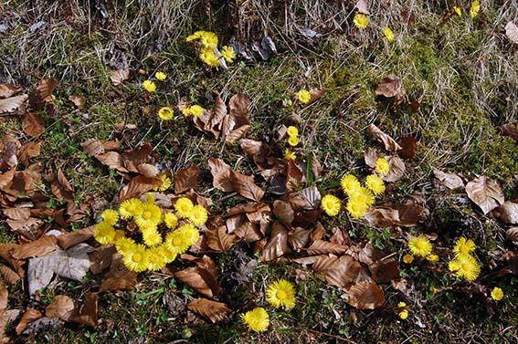 Heilpflanzen im Frühling: Huflattich, Giersch und bald schon der Gundermann • Mamirocks