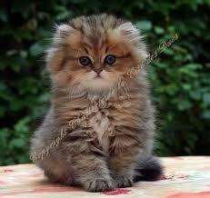 Résultats de recherche d'images pour «persan chinchilla»