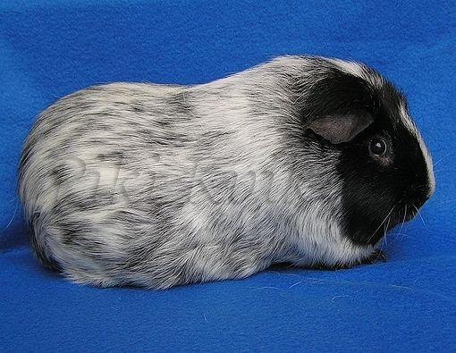 Blue Roan Guinea Pig Guinea Pigs Galore Pinterest
