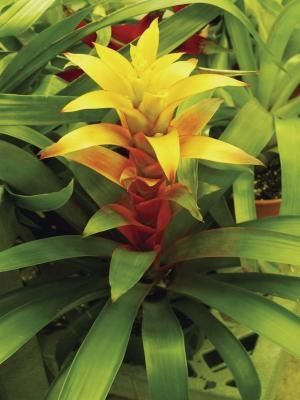 how to care for a bromeliad plant after the flower has died plants low lights and house plants. Black Bedroom Furniture Sets. Home Design Ideas