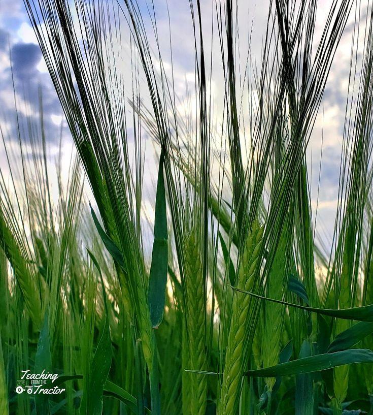 Barley malted barley alfalfa seed barley