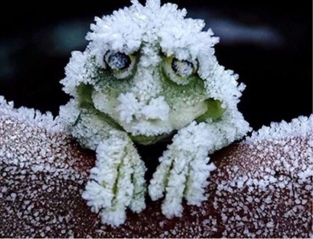 Each September the Alaskan wood frogs freeze. Two-thirds of their body water turns to ice. If you picked them up, they would not move. If you bent one of their legs, it would break. Their hearts stop beating, their blood no longer flows and their glucose levels sky rocket. BUt then during the spring, they thaw out and return to normal.
