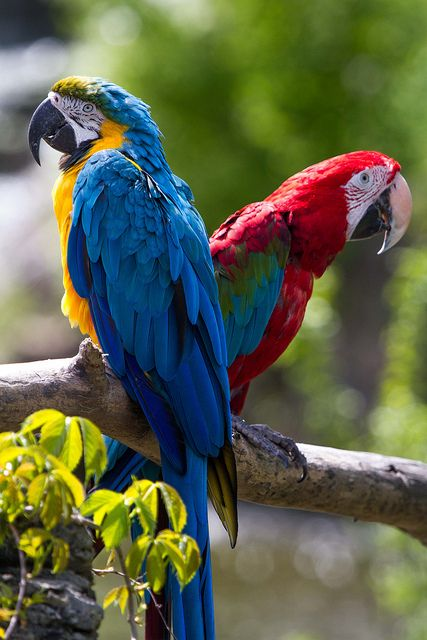 Yellow & Blue Macaw & Scarlet Macaw in Venezuela. Two favourite kinds of parrots. Beautiful colour!