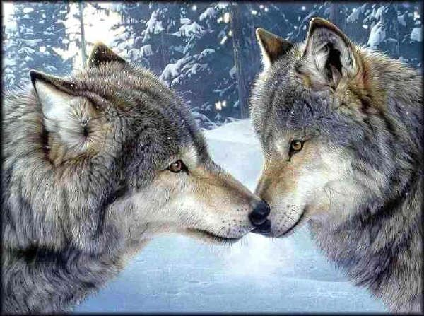Wolves are an amazing species.