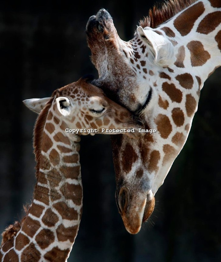 10/10/2008 by Karen Pulfer Focht: Sarabi nuzzles her newborn baby who is just a few hours old at the Memphis Zoo. Giraffe the gestation is about 14 m and babies are born while the mother is standing, they then drop to the ground.