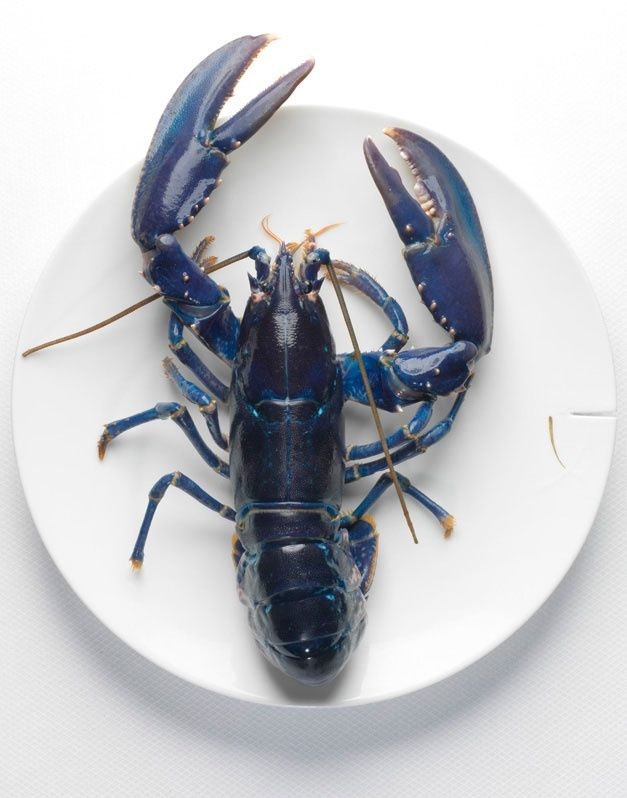 Blue Lobster ⛵️