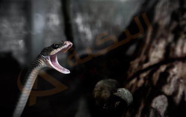 تفسير حلم رؤية لدغة الثعبان في المنام لدغة الثعبان في اليد لدغ الثعبان في القدم أو الرقبة قرصة الثعبان معنى لدغة الثعبان للعزب Animals Celtic Animals Snake