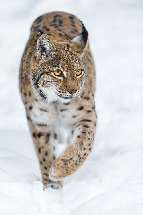 Lynx walking on the snow by Tambako The Jaguar on Flickr