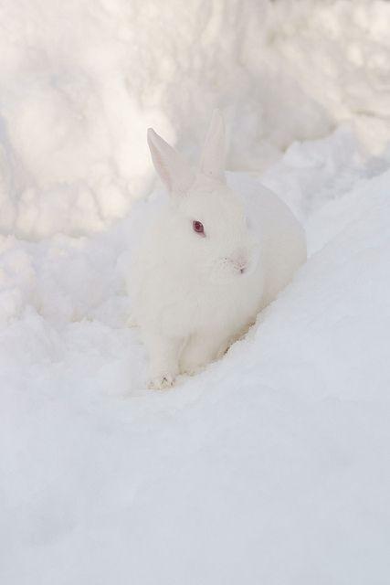 Snow Bunny by catzpicz74 -flickr
