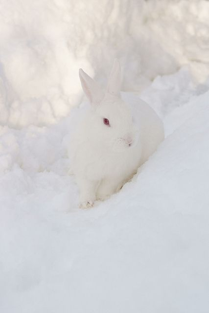 snow bunny, God created him so beautiful and with the exact qualities he needs to live in his habitat. For example the perfect camouflage he has.