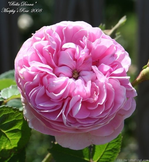 'Bella Donna'  Damask rose bred before 1848.  Light pink rose with a strong fragrance.  Spring or summer flowering only.