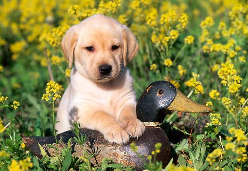 PUP 05 LS0008 01 © Kimball Stock Yellow Labrador Retriever Puppy Sitting With Duck Decoy In Field