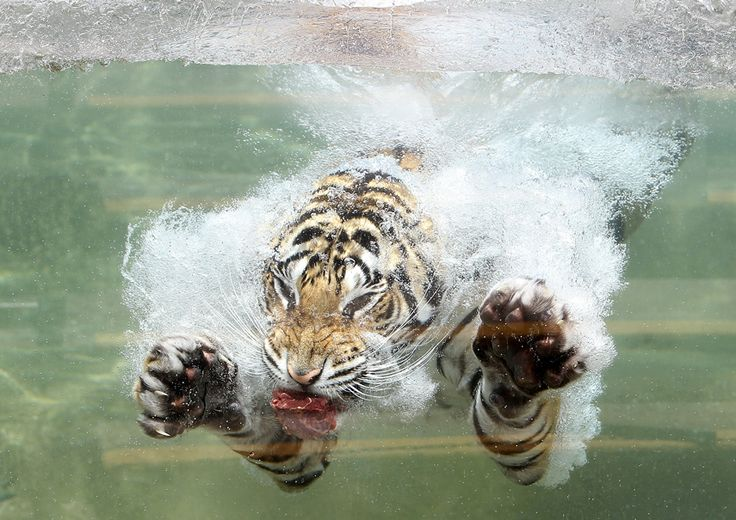 Akasha, a Bengal tiger, dives into the water on June 20.