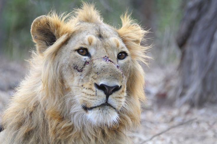 https://upload.wikimedia.org/wikipedia/commons/b/b2/Asiatic_Lion_Male.jpg