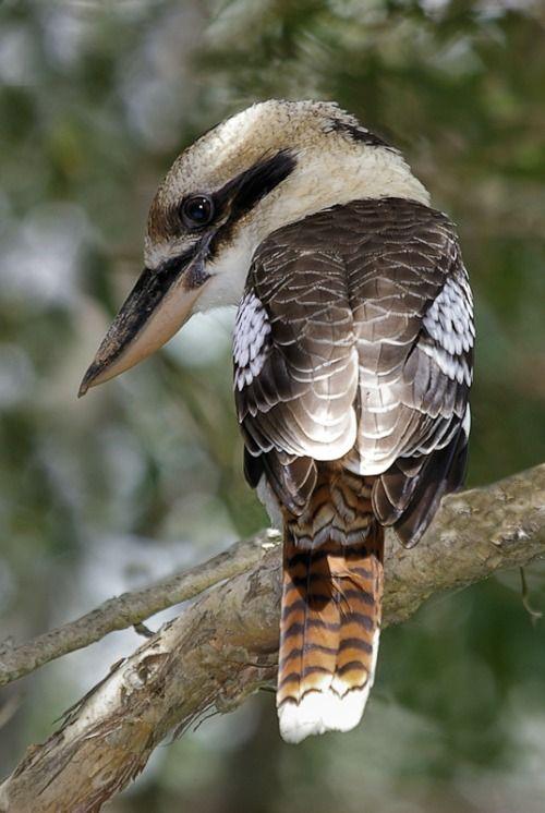 Kookaburra de risa: el kookaburra riendo (Dacelo novaeguineae) es un carnívoro pájaro en el martín pescador familia Halcyonidae .  Originaria de Australia oriental , también se ha introducido en partes de Nueva Zelanda , Tasmania y Australia Occidental .