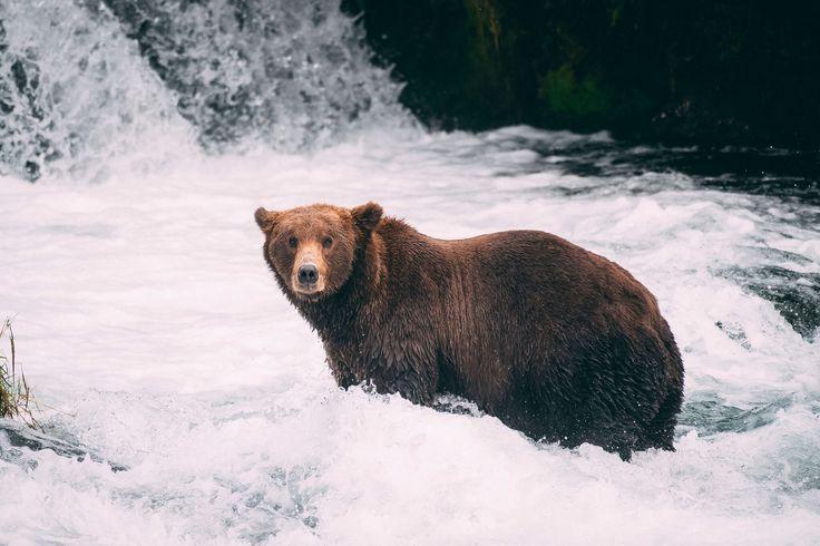 Curious Grizzly Bear, Brooks Falls, Alaska. Photo by Kirstin Scholtz
