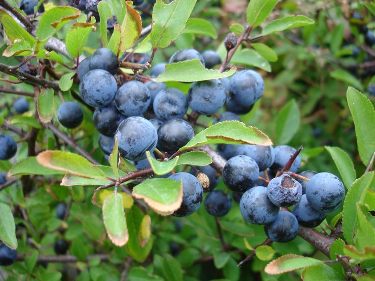 Blackthorn (prunus spinosa) produces small, round bluish-black fruits known as sloes. These begin to appear in early summer and ripen by Oct. They're normally picked after the first frosts as cold sweetens the sloes as they ripen further, but placing them in the freezer will do an equally good job. Traditionally used for flavouring gin. Zone 5-9