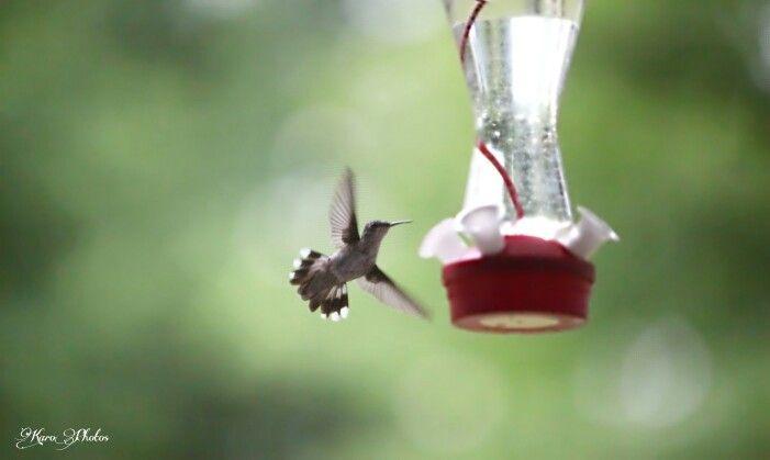 #colibri #colibris #oiseau #oiseaux #wildlife #birds #bird #mealtime #hummingbird #hummingbirds #rubythroatedhummingbird #colibrigorgerubisfemelle #rubythroatedhummingbirdfemale #KaroPhotos Www.karo-photos.smugmug.com