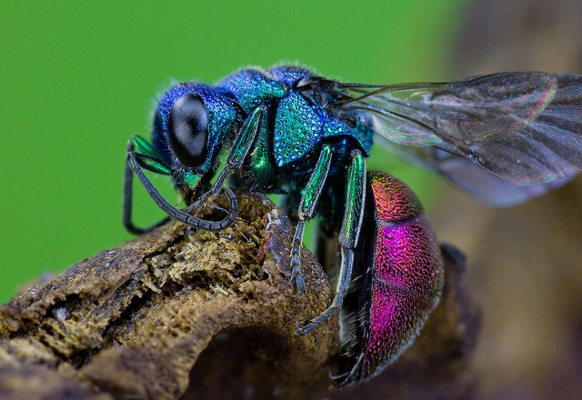 This strikingly beautiful insect is the Ruby-tailed Wasp (Chrysis ignita), a species of Cuckoo Wasp. The metallic greens, blues, bronzes, and violet hues become even more pronounced in the sunlight.    The wasp is harmless and lacks any sting. To protect themselves they curl up into a tight ball and display their bright red abdomen.