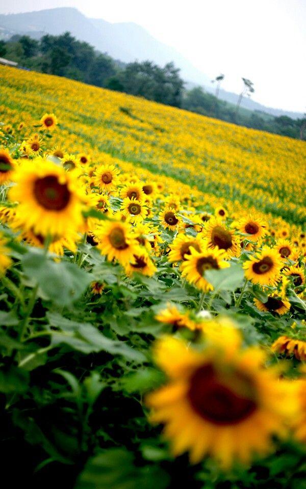Mom's favorite - sunflowers