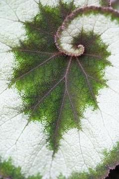 Leaf, exhibiting both fractal spiral & branching patterns