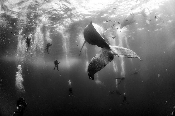 2de prijs: Natuur (enkel)  Fotograaf Anur Patjane Floriuk, Mexico Whale Whisperers: Duikers zwemmen rond een bultrug en haar kalf nabij Roca Partida op de Mexicaanse Revillagigedo-eilanden.