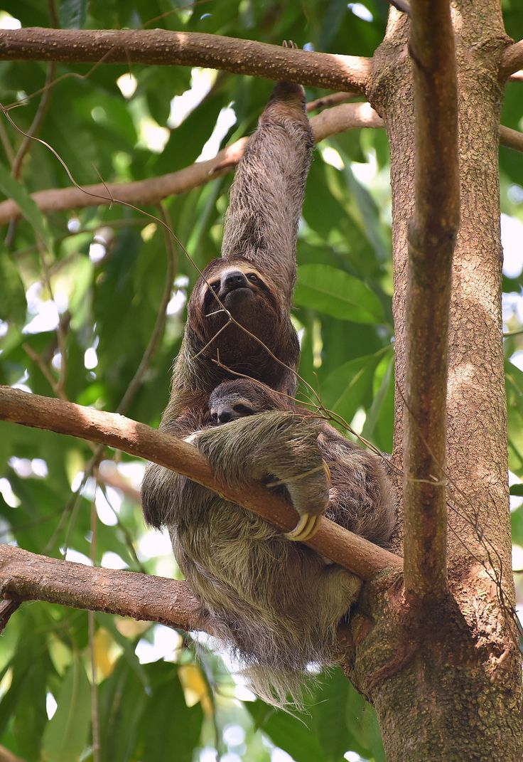Sloth going to the bathroom - The Three Toed Sloths Are Tree Living Mammals From South And Central America Unlike The Two Toed Sloth Three Toed Sloths Are