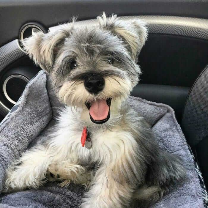20 Reasons To Never Ever Adopt A Schnauzer Dog Breed Hypoallergenic Dog Breed Mini Schnauzer Puppies Schnauzer Puppy