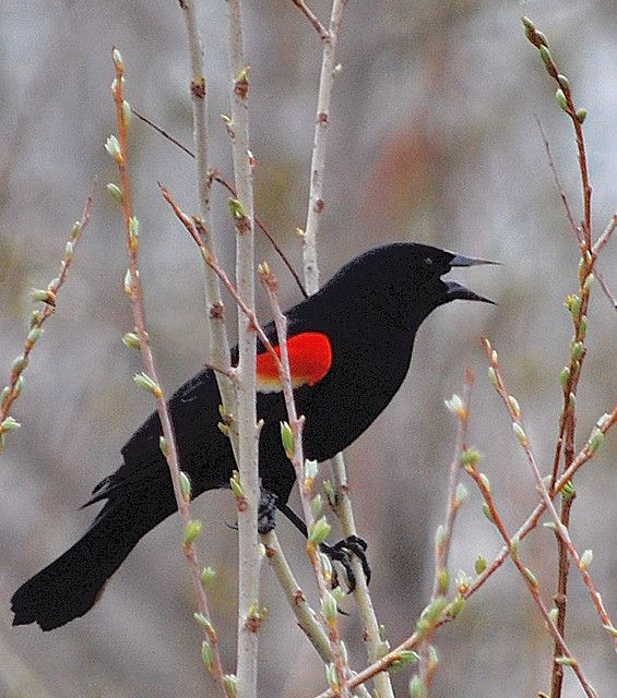 Red-Winged Blackbird by cookie1234, via Flickr This is my absolutely favorite bird, their mating call is crazy beautiful.