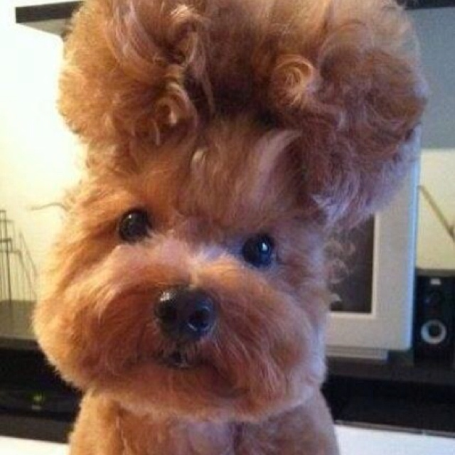 Like my new hairdo?: Funny Dogs, Puppies Dogs, Animal Kingdom, New Hair, Pet Pictures, Life Animal, Big Hair, Hair Looks, Cute Hairstyles