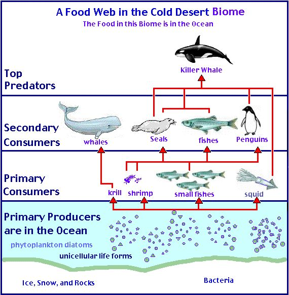 Here's a nice example of an Antarctic food web.