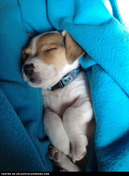 Jack Russell Terrier Sleeping