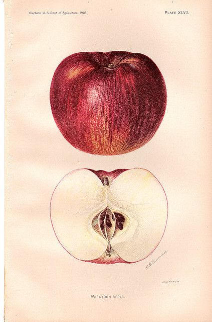 """""""McIntosh Apple"""" ~ from the Yearbook of the U.S. Dept of Agriculture, 1901."""