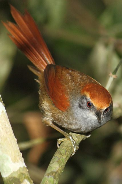 "Rufous-capped Spinetail (Synallaxis ruficapilla).    [""Pichororé (Synallaxis ruficapilla).""]      Google search:  ""The Rufous-capped Spinetail (Synallaxis ruficapilla) is a species of bird in the family Furnariidae. It is found in the southern Atlantic Fo"