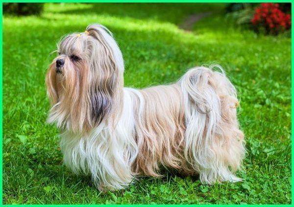 10 Jenis Anjing Kecil Yang Lucu Imut Banget Dunia Fauna Hewan Binatang Tumbuhan Shih Tzu Anjing Ras Anjing