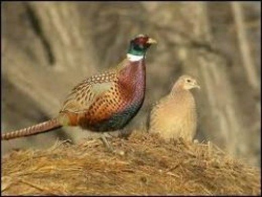 Raising Pheasants for the First Time