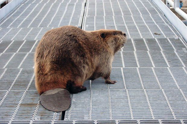 Man Attacked and Killed by the Beaver He Was Trying to Photograph beaver