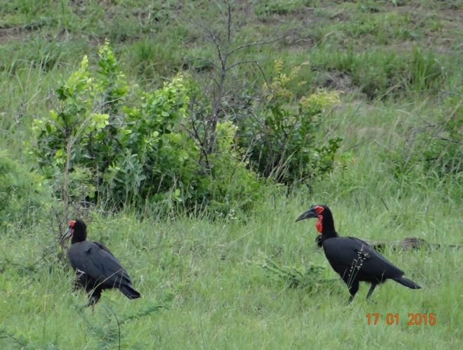 Souther Ground hornbills on a Durban safari Tour with Tim Brown Tours to Hluhluwe Imfolozi game reserve