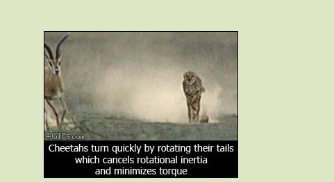 Cheetahs turn quickly by rotating their tails which cancels rotational inertia and minimizes torque