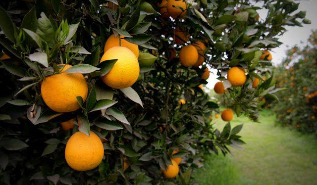 Argentina podrá volver a exportar cítricos a Brasil   La Argentina podrá exportar nuevamente naranjas mandarinas pomelos y limones a Brasil gracias a que se logró reabrir ese mercado que se encontraba cerrado desde 2009 según informó el Ministerio de Agroindustria de la Nación  El ministro del área Ricardo Buryaile expresó su reconocimiento al Departamento de Sanidad Vegetal del Ministerio de Agricultura Ganadería y Abastecimiento (MAPA) de Brasil por la medida muy esperada por el sector…