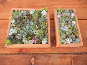 How to make wall succulent gardens