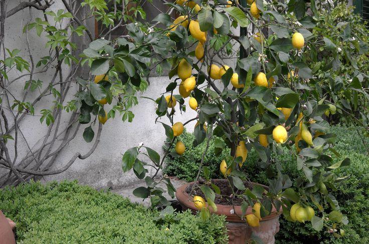 A lemon tree at Villa le Barone