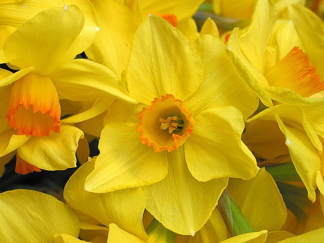 "ESA's flower, the yellow jonquil: ""Rich in color, perfect in form, carrying the golden promise of spring, emblematic of noble thought."""