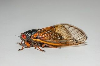 Brood Awakening: 17-Year Cicadas Emerge 4 Years Early: Scientists search for the mysterious cause, as millions of hatching bugs loudly buzz the night away. #Cicadas #Brood_X #Climate_Change