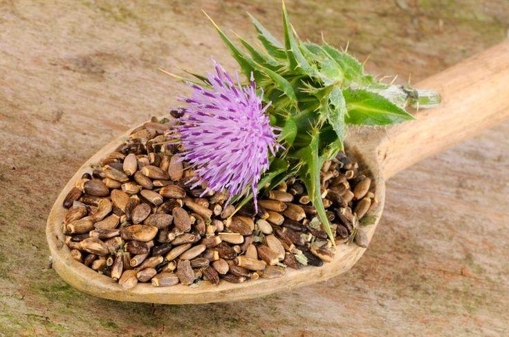 Pestrec mariánsky obnovuje pečeňové bunky. Listy sa využívajú na liečbu kašľa a depresie. Nájdete ich v mnohých čajových zmesiach.