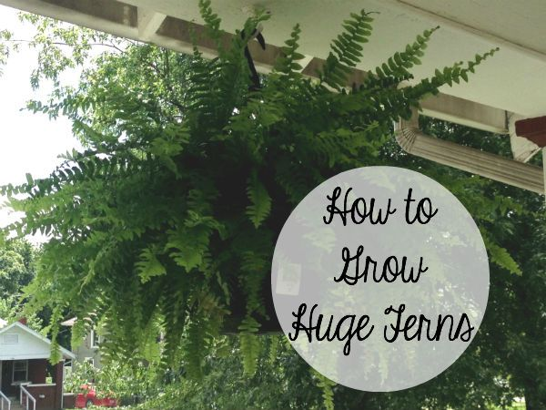 How to Grow Huge, Lush Ferns-Every other day, take ferns down and submerge them in bucket of 3-4 gallons of water and 1/4 cup of epsom salt. Use  sticks to hold the ferns down in the water until they stop bubbling (listen closely). Take them out and leave on sidewalk, out of the sun for about 1-2 hours until they're done dripping