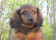mini ature dachshunds AKC MINIATURE DACHSHUND PUPPIES FOR SALE!