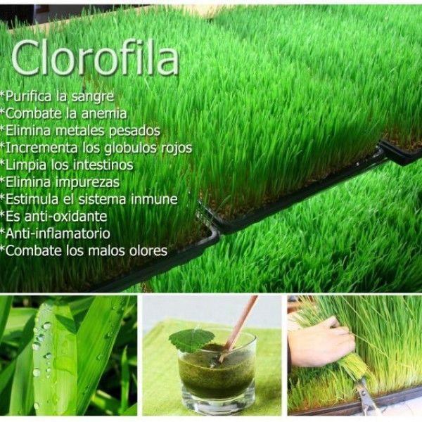 """La clorofila es por así decirlo """"la sangre de las plantas"""", siendo el elemento principal en la fisiología de la vida vegetal. ¿Qué es la clorofila? Laclorofilaes uno de los compuestos químicos fundamentales de todas las plantas; esta biomolécula no sólo es la responsable de color verde que tienen la mayoría de los integrantes del reino vegetal, sino que también es la principal involucrada, junto con la luz, en el proceso de fotosíntesis, por la cual las plantas se nutren. La clorofila es…"""
